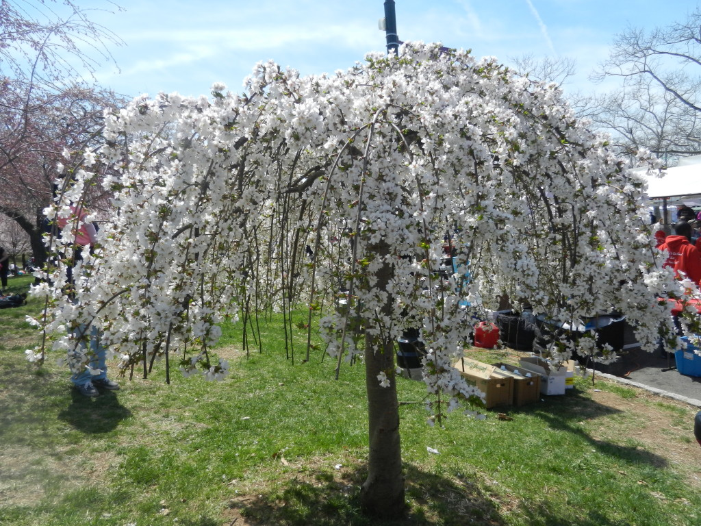 whitecherryblossomtree